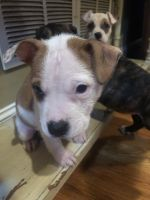 Bull Terrier Puppies for sale in 27 Laurel Way, White, GA 30184, USA. price: NA