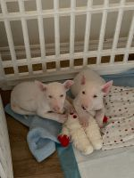 Bull Terrier Puppies for sale in Riverside, CA, USA. price: NA