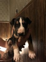 Bull Terrier Puppies for sale in Martinsville, OH 45146, USA. price: NA