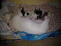 Bull Terrier Puppies for sale in 1000 Renaud Dr, Scott, LA 70583, USA. price: NA
