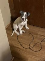 Bull Terrier Puppies for sale in Milwaukee, WI, USA. price: NA
