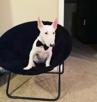 Bull Terrier Puppies for sale in Orlando, FL, USA. price: NA