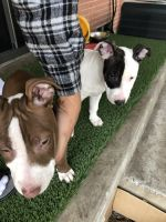 Bull Terrier Puppies for sale in Garland, TX, USA. price: NA