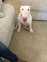 Bull Terrier Puppies for sale in Tucson, AZ, USA. price: NA