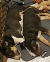 Bull Terrier Puppies for sale in The Bronx, NY 10456, USA. price: NA