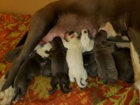 Bull Terrier Puppies for sale in Indianapolis, IN 46220, USA. price: NA