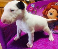 Bull Terrier Puppies for sale in Albany, NY, USA. price: NA