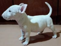 Bull Terrier Puppies for sale in Abiquiu, NM 87510, USA. price: NA