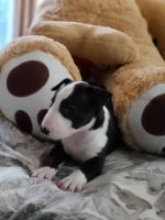 Bull Terrier Puppies for sale in Perris, CA 92571, USA. price: NA
