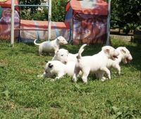 Bull Terrier Puppies for sale in Irvine, CA, USA. price: NA