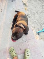 Bull Terrier Puppies for sale in Caruthers, CA 93609, USA. price: NA
