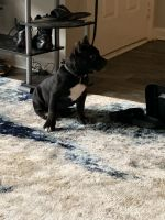 Bull Terrier Puppies Photos