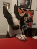 Bull Terrier Puppies for sale in San Antonio, TX, USA. price: NA