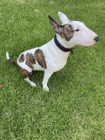 Bull Terrier Puppies for sale in Alameda, CA, USA. price: NA