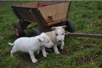 Bull Terrier Puppies for sale in Miami Beach, FL, USA. price: NA
