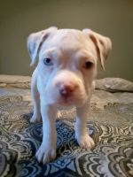 Bull Terrier Puppies for sale in Greeley, CO, USA. price: NA