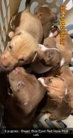 Bull Terrier Puppies for sale in Orlando, FL 32818, USA. price: NA