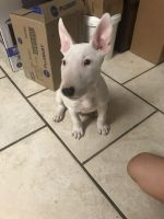 Bull Terrier Puppies for sale in Eastvale, CA, USA. price: NA