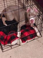 Bull Terrier Puppies for sale in North Charleston, SC 29405, USA. price: NA