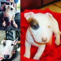 Bull Terrier Puppies for sale in Kailua, HI, USA. price: NA