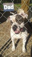Bull Terrier Puppies for sale in Roper, NC 27970, USA. price: NA
