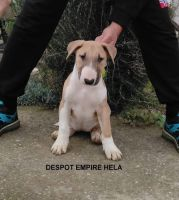 Bull Terrier Puppies for sale in West Alexandria, OH 45381, USA. price: NA