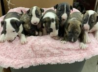 Bull Terrier Puppies for sale in Elizabethtown, NC 28337, USA. price: NA