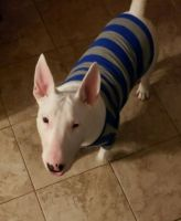 Bull Terrier Puppies for sale in Seminole, FL, USA. price: NA