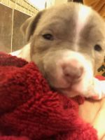 Bull Terrier Puppies for sale in Fort Worth, TX, USA. price: NA