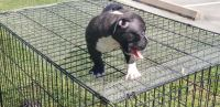 Bull Terrier Puppies for sale in Houston, TX, USA. price: NA