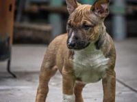 Bull Terrier Puppies for sale in Seattle, WA 98125, USA. price: NA