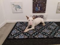 Bull Terrier Puppies for sale in Poughkeepsie, NY, USA. price: NA