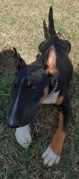 Bull Terrier Puppies for sale in Richmond Hill, GA 31324, USA. price: NA