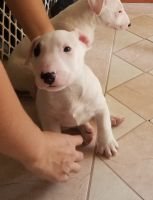 Bull Terrier Miniature Puppies for sale in Bakersfield, CA, USA. price: NA