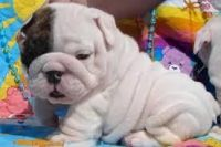 Bull Terrier Miniature Puppies for sale in Phoenix, AZ, USA. price: NA