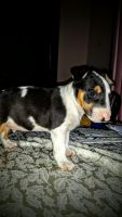 Bull Terrier Miniature Puppies for sale in Ontario, CA, USA. price: NA