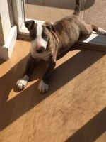 Bull Terrier Miniature Puppies for sale in State Hwy 161, Texas, USA. price: NA