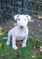 Bull Terrier Miniature Puppies for sale in Peachtree Rd NE, Atlanta, GA, USA. price: NA