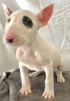 Bull Terrier Miniature Puppies for sale in Irvine, CA, USA. price: NA