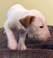 Bull Terrier Miniature Puppies for sale in Lake Forest, CA, USA. price: NA