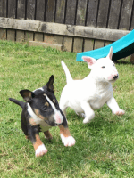 Bull Terrier Miniature Puppies for sale in Anchorage, AK, USA. price: NA