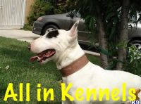 Bull Terrier Miniature Puppies for sale in North Hollywood, Los Angeles, CA, USA. price: NA