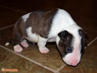 Bull Terrier Miniature Puppies for sale in Chicago, IL, USA. price: NA