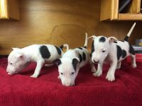 Bull Terrier Miniature Puppies for sale in New York, NY, USA. price: NA