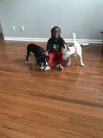 Bull Terrier Miniature Puppies for sale in GA-92, Fayetteville, GA, USA. price: NA