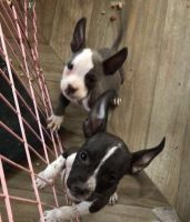 Bull Terrier Miniature Puppies for sale in Cleveland, OH, USA. price: NA