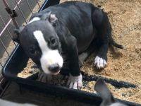 Bull Terrier Miniature Puppies Photos