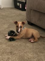Bull Terrier Miniature Puppies for sale in Woodland, CA, USA. price: NA