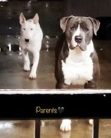 Bull Terrier Miniature Puppies for sale in 3503 Mangum St, Baldwin Park, CA 91706, USA. price: NA