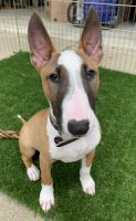 Bull Terrier Miniature Puppies for sale in Springfield, IL, USA. price: NA